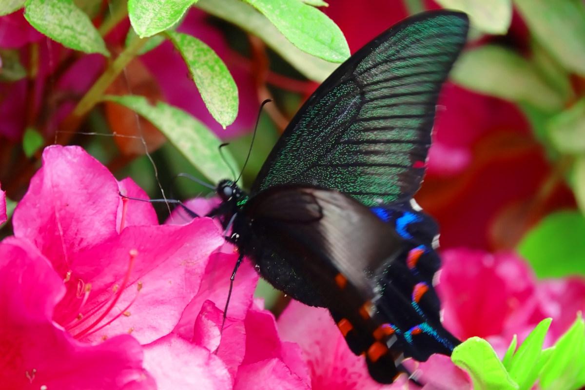 花園むさしの浄苑でツツジの蜜を吸うカラスアゲハのメス