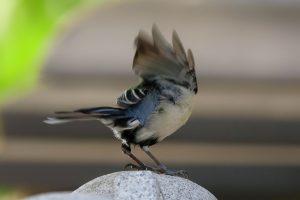 羽を広げながら鳴くシジュウカラ