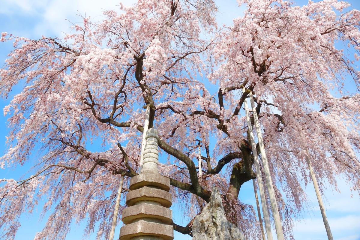 樹齢300年のしだれ桜-埼玉県児玉郡神川町