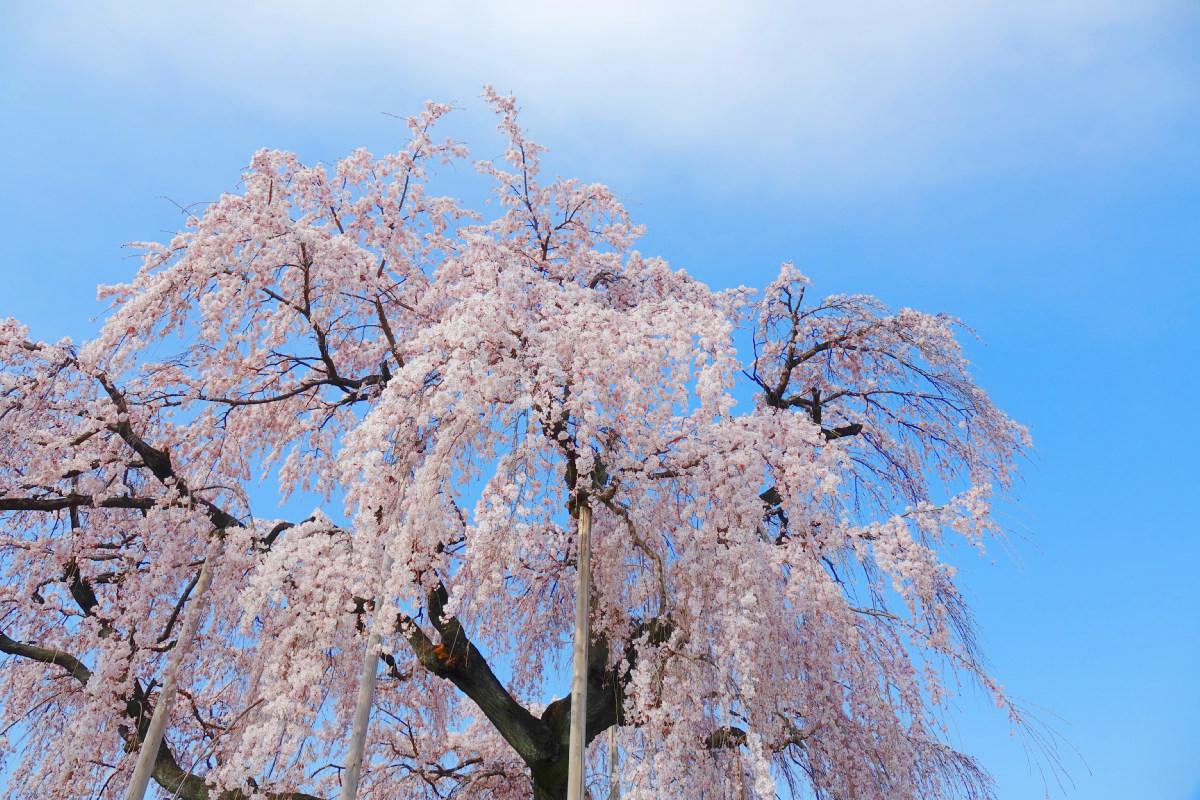 青空の下で満開のしだれ桜-埼玉県児玉郡神川町の瑞巌寺