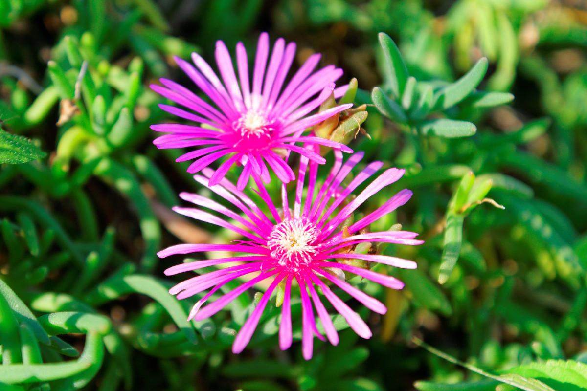 松葉菊(マツバギク) 多肉植物