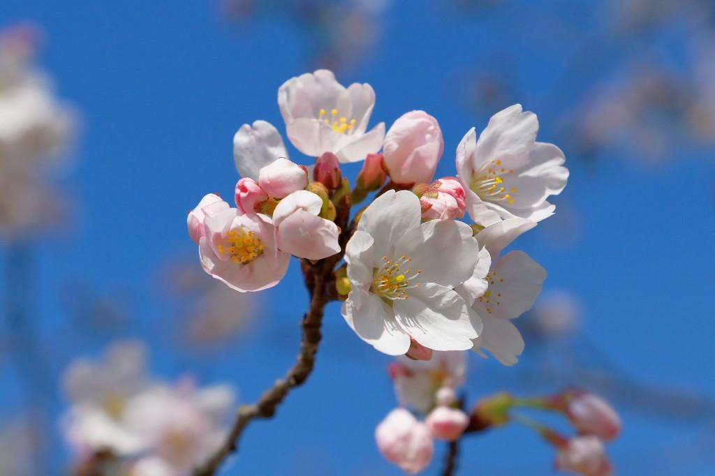 ソメイヨシノ5分咲き