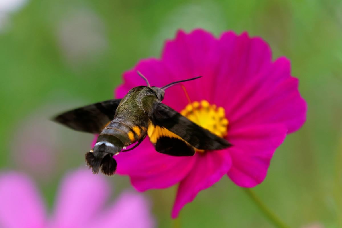 コスモスの蜜を吸う蜂雀(ホウジャク)
