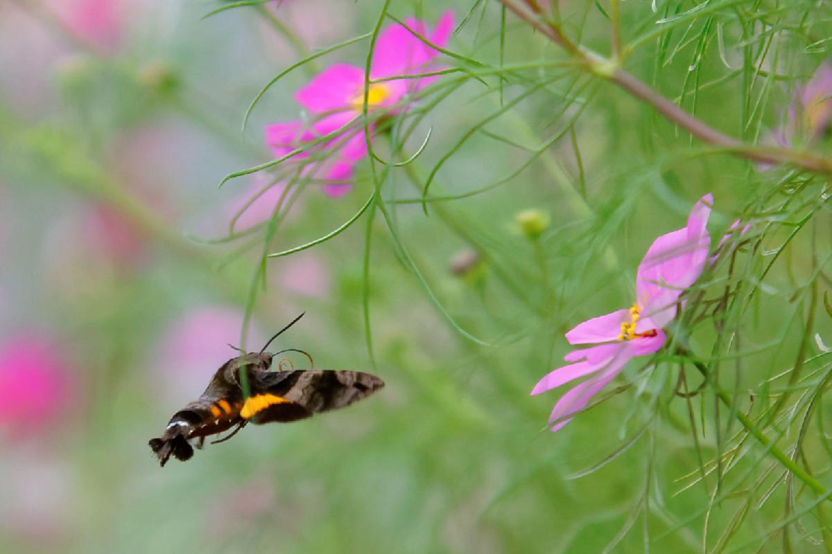 移動する蜂雀(ホウジャク)