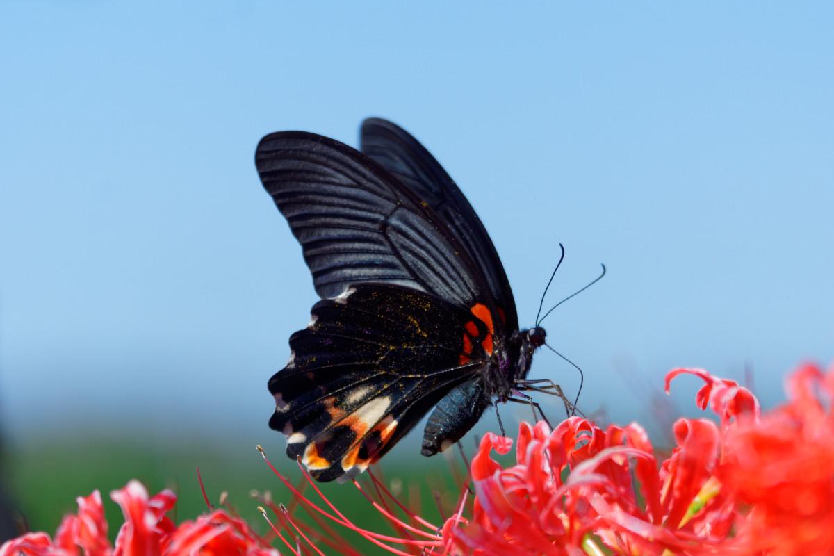 黒揚羽(クロアゲハ)と彼岸花