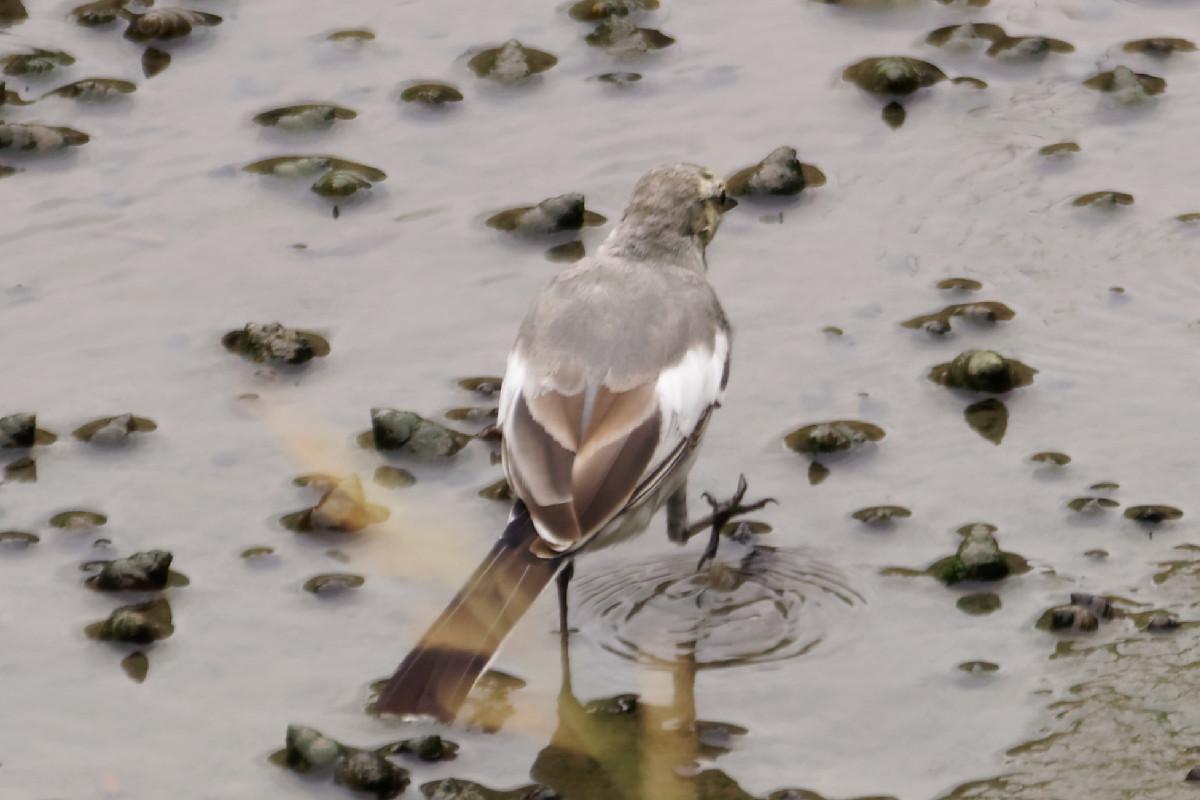 移動する白鶺鴒の幼鳥