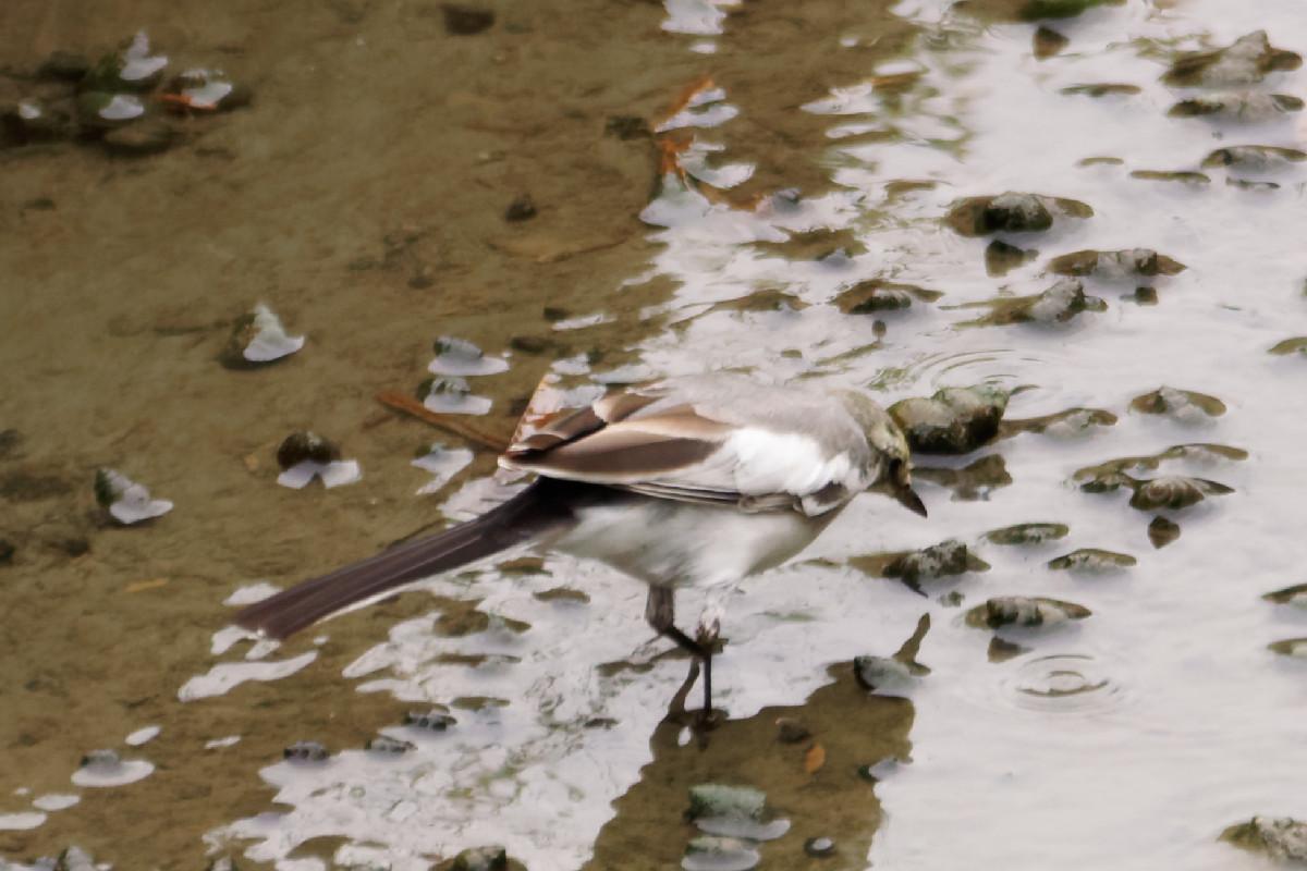 水辺を伺う白鶺鴒の幼鳥