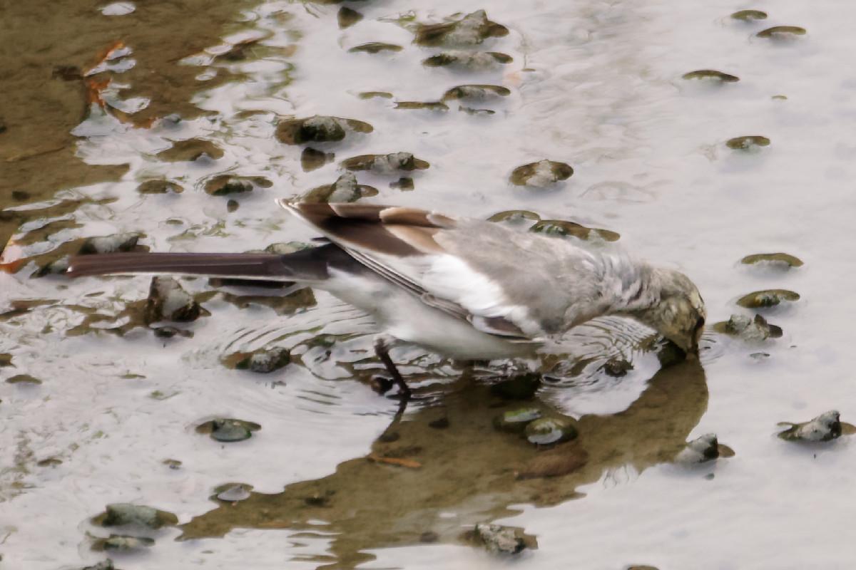 餌を食べる白鶺鴒の幼鳥