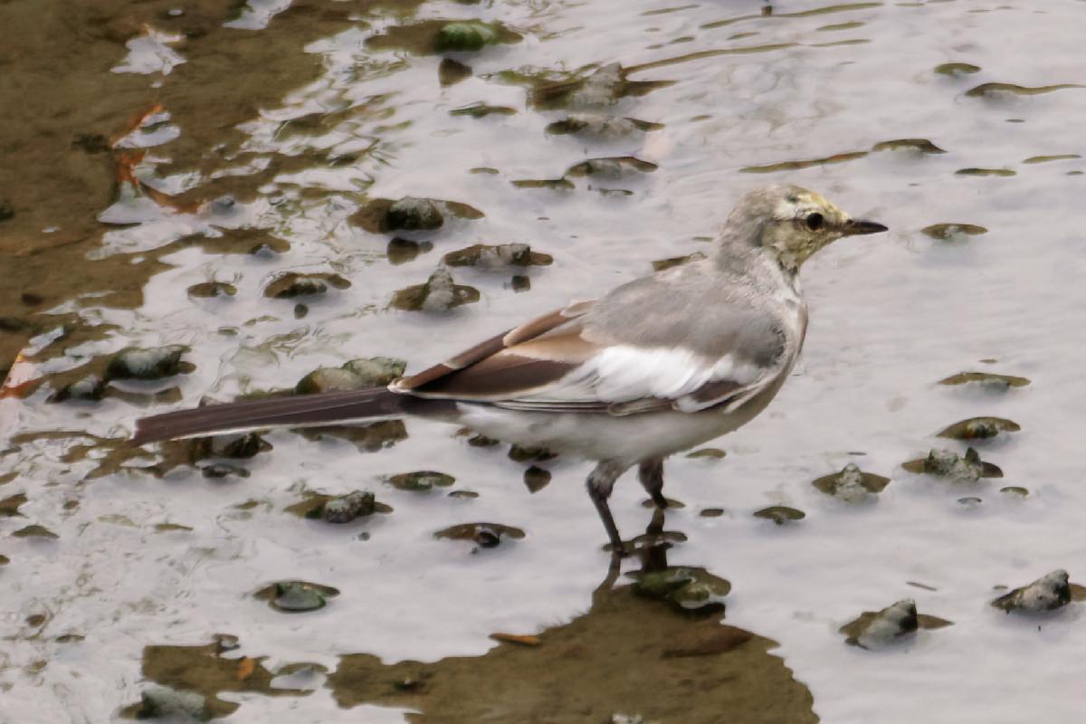 白鶺鴒(ハクセキレイ)の幼鳥