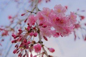 仙台枝垂開花2