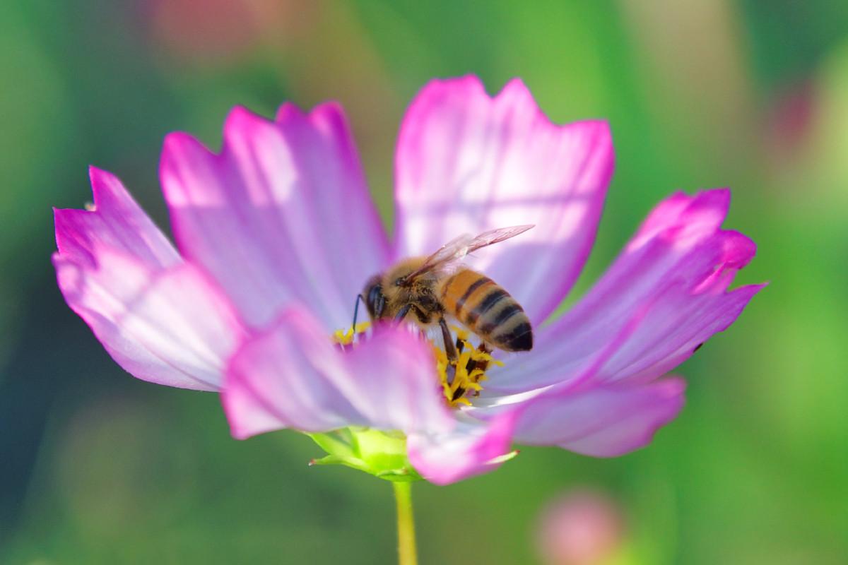 ピコティとセイヨウミツバチ