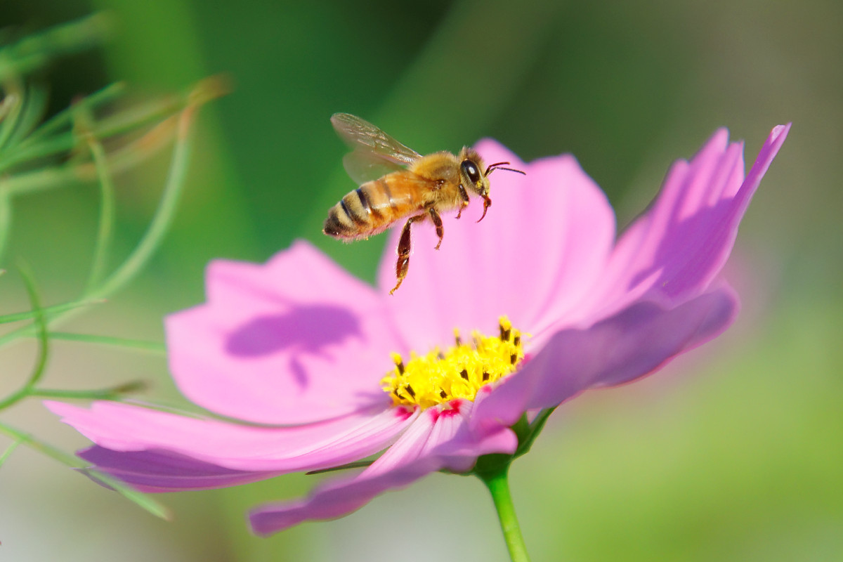 コスモスとセイヨウミツバチ