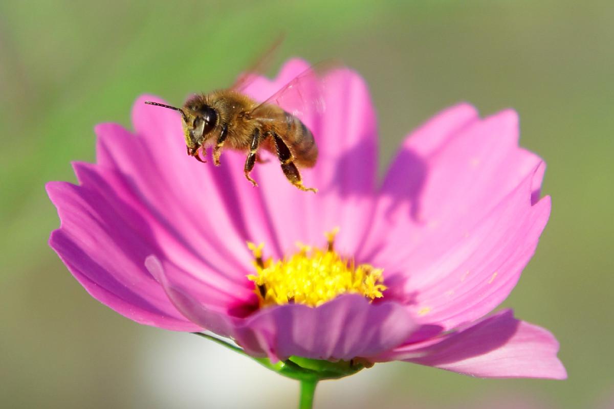 コスモスとセイヨウミツバチ2