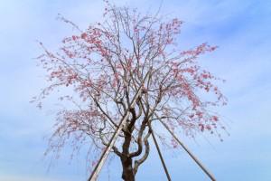 花園むさしの浄苑の仙台枝垂