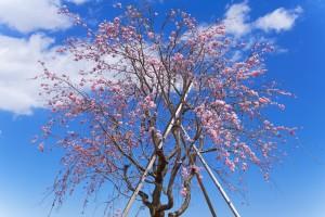 だいぶ開花した仙台枝垂