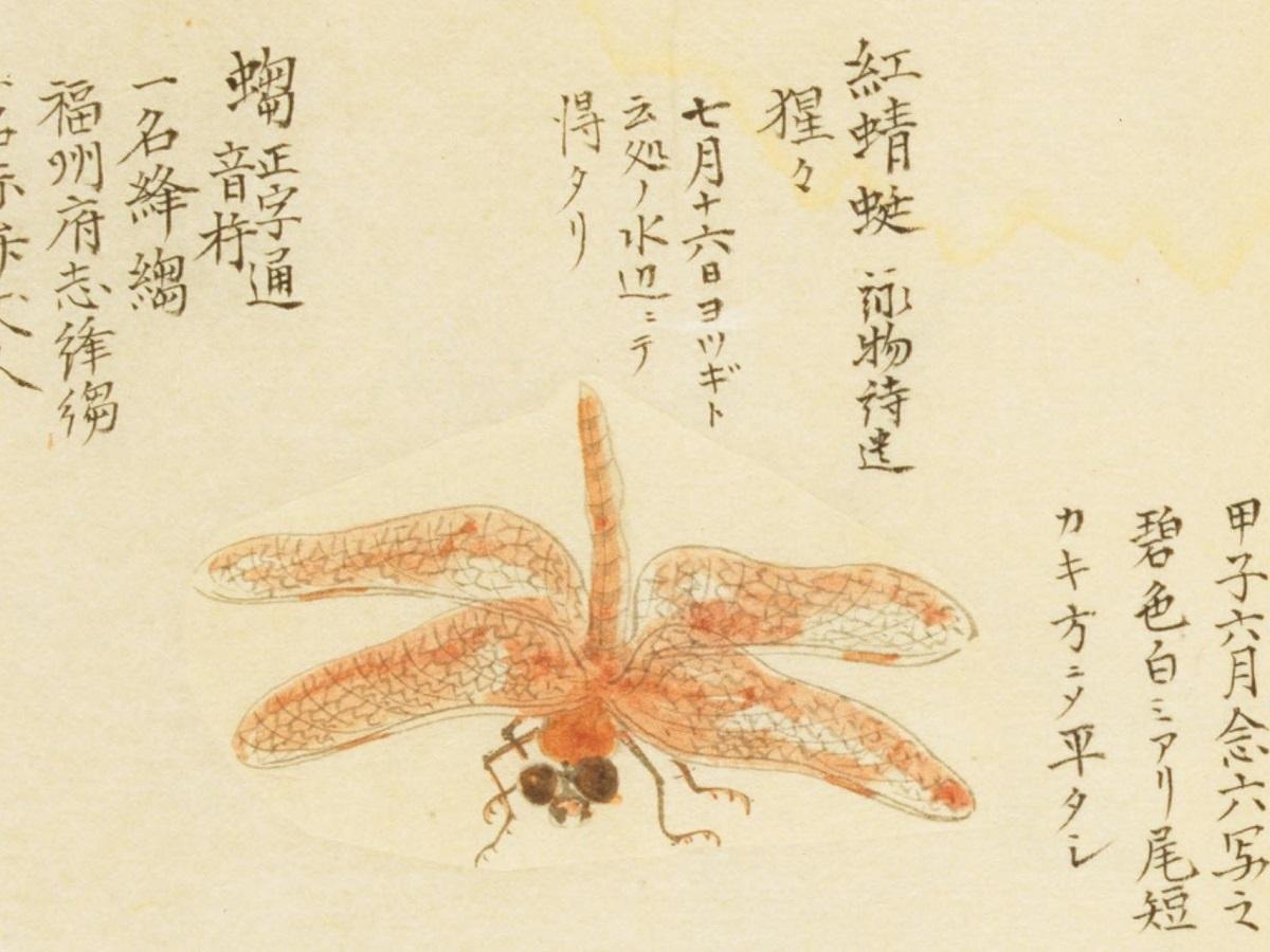 『千虫譜』に見るショウジョウトンボ