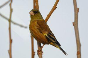 羽の一部が黄色いカワラヒワ