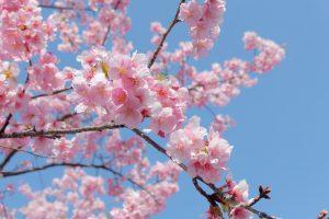 花園むさしの浄苑の河津桜