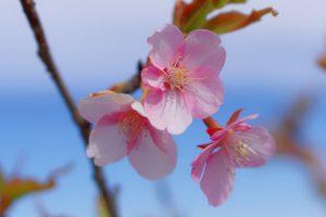 河津桜の接写