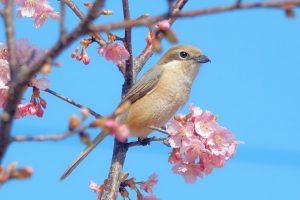 河津桜とモズのメス