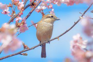 河津桜と可愛いモズのメス