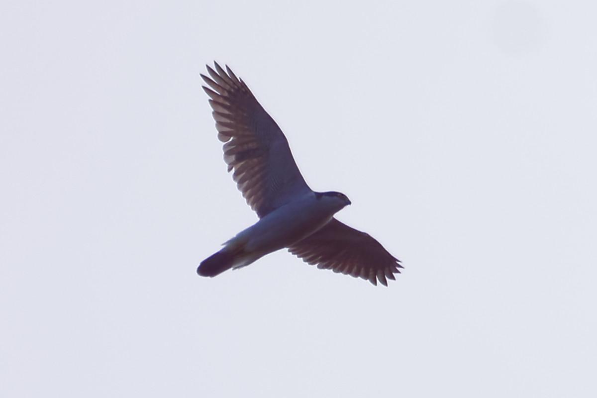 霊園上空を飛翔するオオタカ