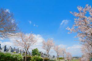 花園むさしの浄苑のソメイヨシノ