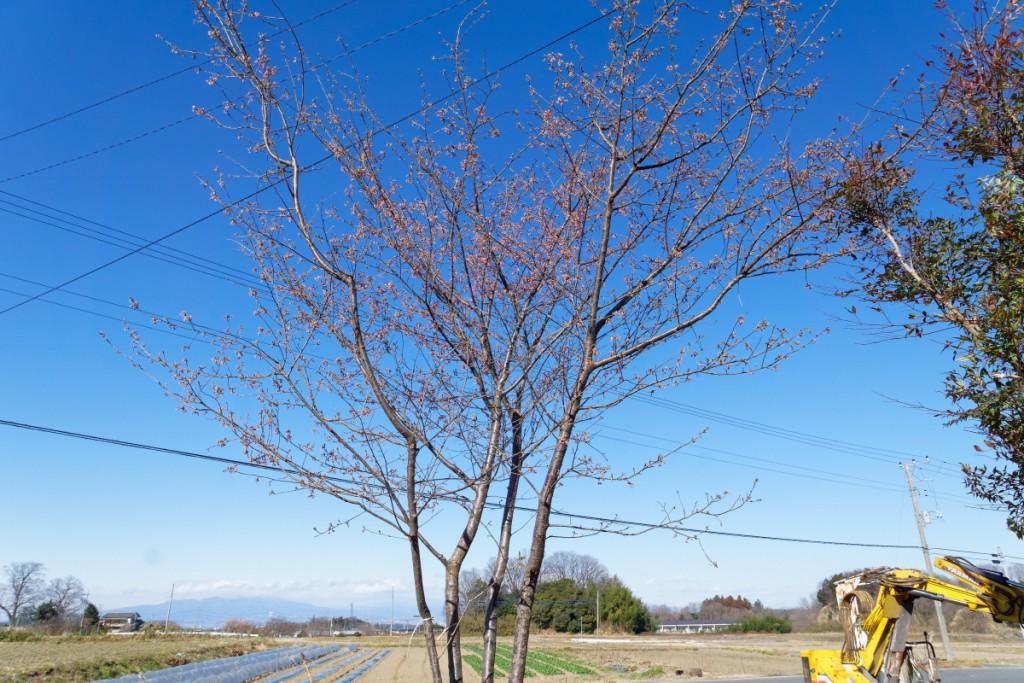 陽光桜 早咲で病気に強い品種
